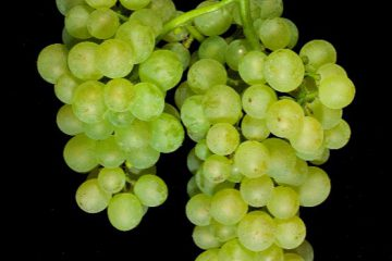 Auxerrois-grape-cluster