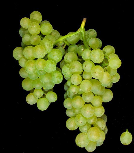 Auxerrois-grape-cluster