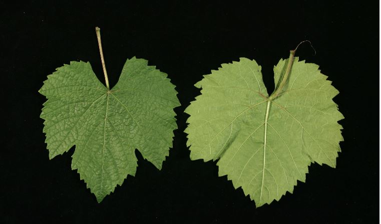 Auxerrois-grape-leaves