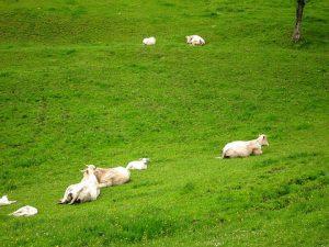 Guignier-Charolais-cattle