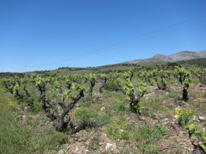 Jolly-Ferriol-Vineyard