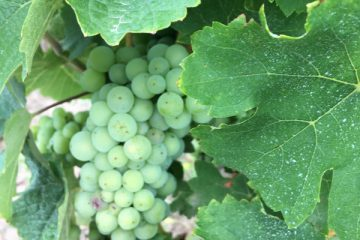 Pesnot-Folles-Blanches-grapes