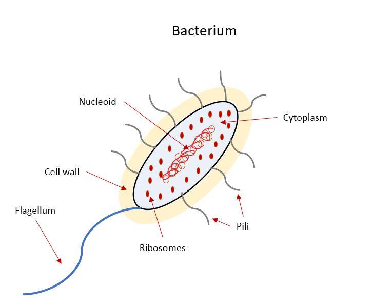 Bacterium structure