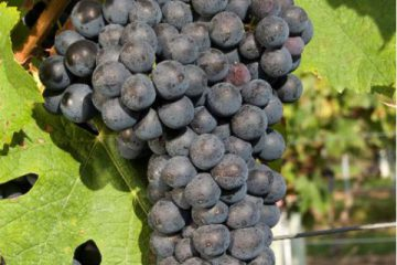 Mondeuse grapes