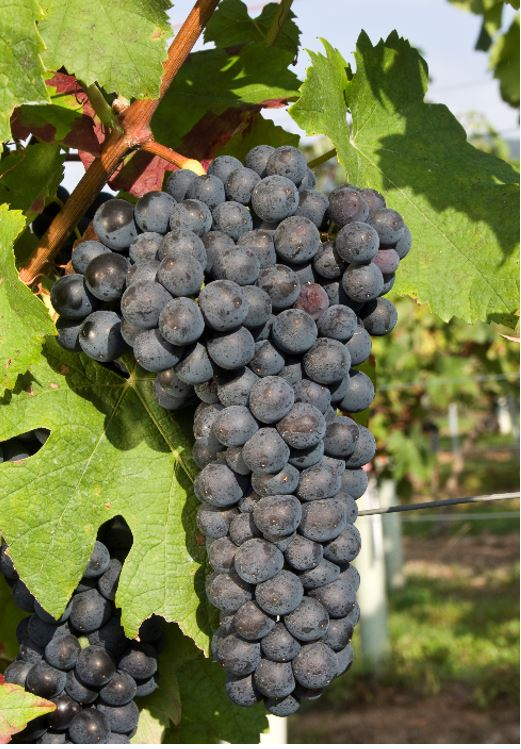 Mondeuse grapes