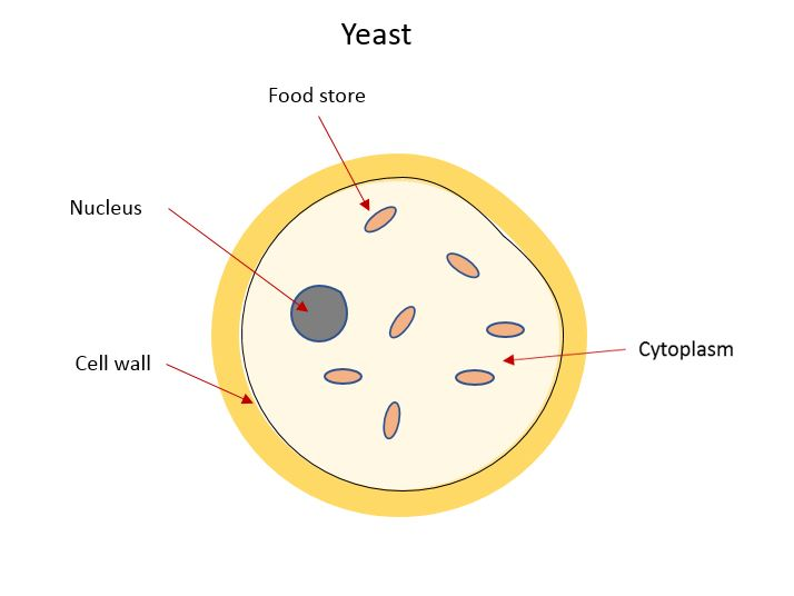 Yeast structure