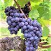 Pineau d'Aunis grapes